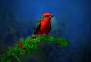 Tyrant Framed Prints - Vermilion Flycatcher In Las Frailes Framed Print by John  Kolenberg