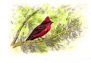 Flycatcher Drawings Prints - Vermillion Flycatcher Bird Print by Syl Lobato