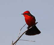 Flycatcher Originals - Vermillion Flycatcher Tail Flair by Janice Clark