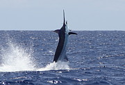 Blue Marlin Photo Metal Prints - Vertical Blue Metal Print by Carol Lynne