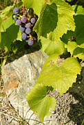 Grape Leaf Framed Prints - Vertical grapevines and rock Framed Print by Sylvie Bouchard