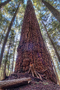Colorful Bark Prints - Vertical of Massive Tree in Forest Print by James Wheeler