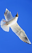Lone Gull Framed Prints - Vertical Takeoff Framed Print by Kantilal Patel