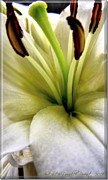 P Greeting Cards Greeting Cards Digital Art Prints - Vertical White Lily Print by Danielle  Parent
