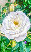 Hallmark Metal Prints - Vertical White Rose Metal Print by Kristina Deane