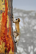 Jay Fries - Vervet Vervet Monkey On...