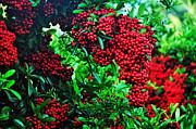 Very Berry Print by Kaye Menner