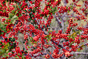 Linda Phelps - Very Many Red Berries