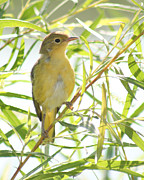 Anita Oakley - Very Yellow Warbler