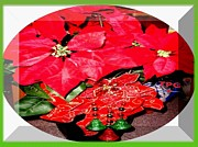 Christmas Season Images Posters - VFL CHRISTMAS Poinsettia Bloom Poster by The Plant Gallery USA Gallery