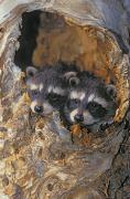 Raccoon Photo Posters - V.hurst 11318c, Young Raccoon, Spring Poster by Victoria Hurst