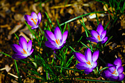 Easter Flowers Photo Framed Prints - Vibrant Crocuses Framed Print by Karol  Livote