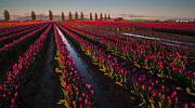 Skagit Framed Prints - Vibrant Dusk Tulips Framed Print by Mike Reid