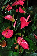 Textured Floral Framed Prints - Vibrant Flamingo Lilies - Anthurium Framed Print by Kaye Menner