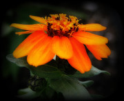 Kay Novy Framed Prints - Vibrant Little Zinnia Framed Print by Kay Novy