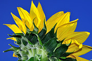 Large Sunflower Posters - Vibrant Sunflower in the Sky Poster by Kaye Menner