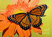Florida Wildlife Posters - Viceroy Butterfly Poster by Millard H. Sharp