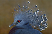 Head Dress Framed Prints - Victoria Crowned Pigeon Framed Print by Tony Beck