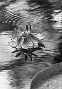 Regia Prints - Victoria Regia Blossom. Royal Botanical Garden in Mauritius. Black and White Print by Jenny Rainbow