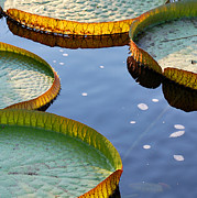 Waterlily Prints - Victoria Waterlilies Print by Nancy Mueller