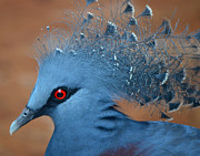 Maggy Marsh - Victorian Crowned Pigeon