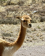 Transportation Glass Art Posters - Vicuna portrait Poster by Darlene Grubbs
