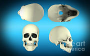 Frontal Bones Digital Art Posters - View Of Human Skull From Different Poster by Stocktrek Images