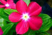 Watercress Photos - Vinca flower by Lanjee Chee