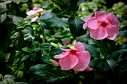 Donald Chen Posters - Vinca Rosea Singapore Flower Poster by Donald Chen