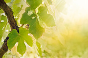 Winemaking Photos - Vine leaf by Mythja  Photography