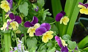 Kathleen Prints - Vine Of Pansies Print by Kathleen Struckle