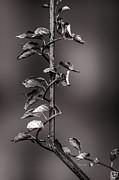 Iron Rail Framed Prints - Vine on Iron Framed Print by Bob Orsillo