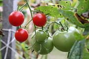 Vine Ripe Tomatoes Print by Carla  Kutt