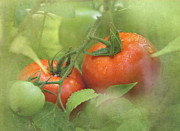 Fresh Produce Prints - Vine Ripened Tomatoes Print by Angie Vogel