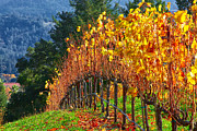 Napa Valley Photos - Vines by Don Hall