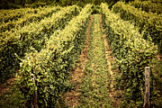 Vineyard Photo Posters - Vines growing in vineyard Poster by Elena Elisseeva
