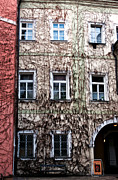 Vines Prints - Vines in Prague Print by John Rizzuto