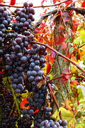 Concord Grapes Prints - Vines Of October Print by Roger Bailey