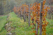 Grapevines Photos - Vines of Tuscanny by Leslie Lovell