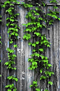 Vines Prints - Vines on the Side of a Barn Print by Bill Cannon