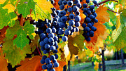 Blue Grapes Photos - Vineyard 2 by Xueling Zou