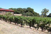 Vineyard And Stallion Barn At Historic Jack London Ranch In Glen Ellen Sonoma California 5d24579 Print by Wingsdomain Art and Photography