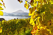 Vineyard At Lake Lucerne Print by George Oze