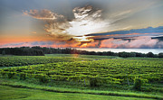 Vine Grapes Posters - Vineyard At Sunrise Poster by Steven Ainsworth