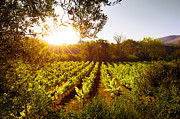Grapevine Leaf Framed Prints - Vineyard at Sunset Framed Print by Carlos Caetano