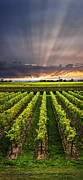Grape Vineyards Photo Posters - Vineyard at sunset Poster by Elena Elisseeva