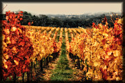 Vineyard Digital Art - Vineyard Autumn by John Monteath