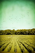 Wine Making Photo Prints - Vineyard Print by Colleen Kammerer