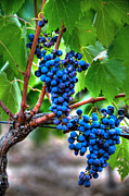 Blue Grapes Framed Prints - Vineyard Colors Framed Print by Michael Biggs