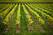 Winemaking Photo Metal Prints - Vineyard Metal Print by Elena Elisseeva